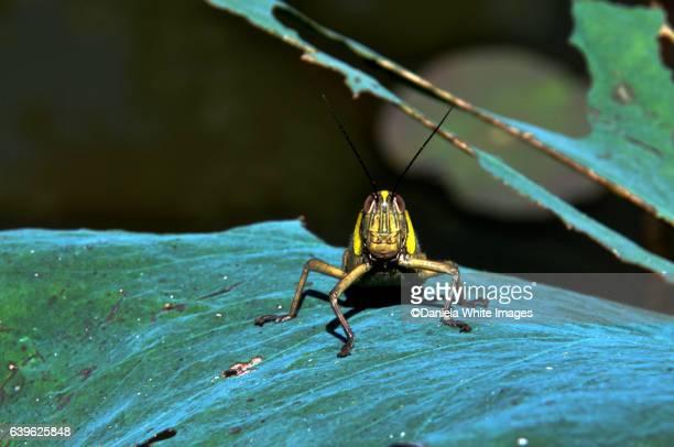 Close-Up Of Grasshopper, Bali, Indonesia