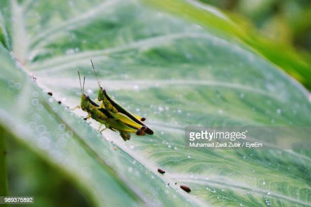 close-up of grasshopper mating on plant - begattung kopulation paarung stock-fotos und bilder