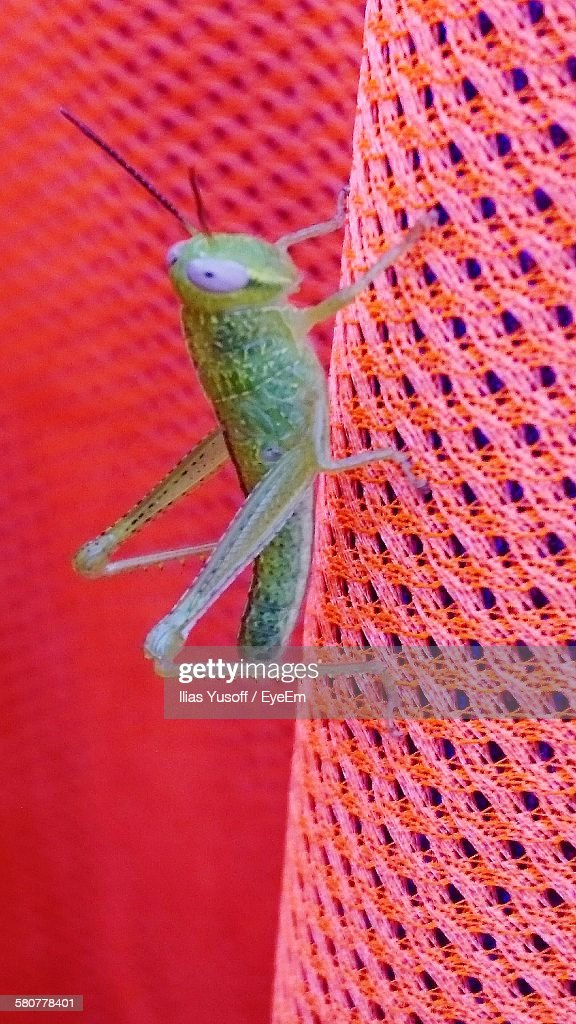 Closeup Of Grasshopper On Coral Colored Fabric Stock Photo | Getty ...