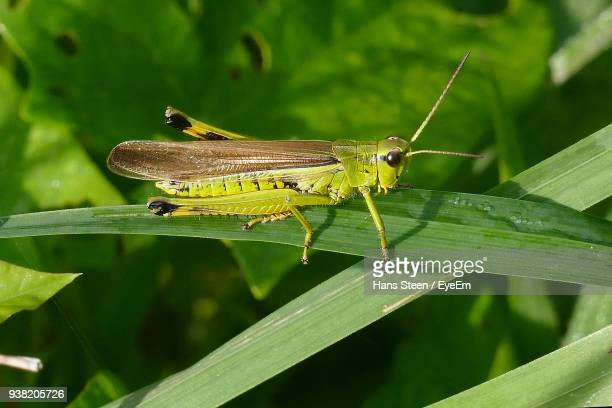 Close-Up Of Grasshopper On Leaf