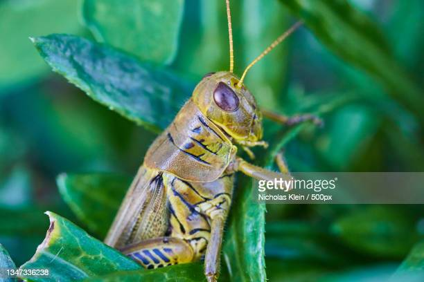 close-up of grasshopper on plant - klein stock pictures, royalty-free photos & images