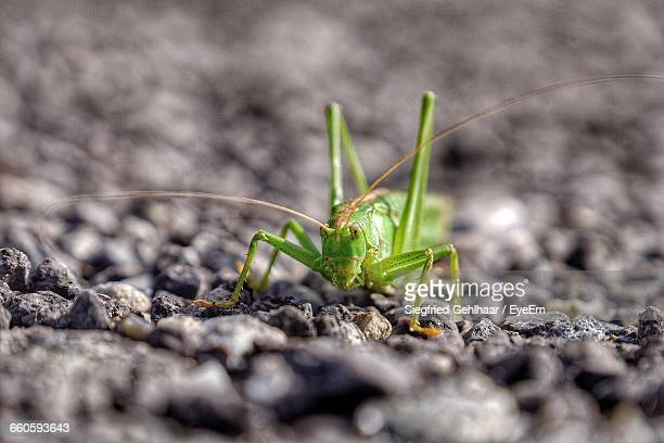 Close-Up Of Grasshopper On Stones