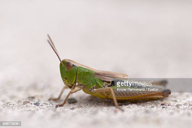 Close-Up Of Grasshopper On Surface