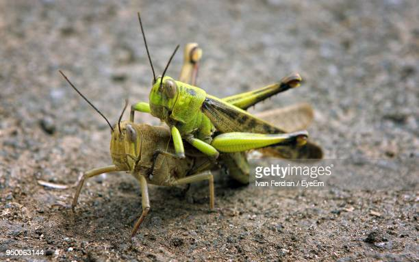 Close-Up Of Grasshoppers On Field