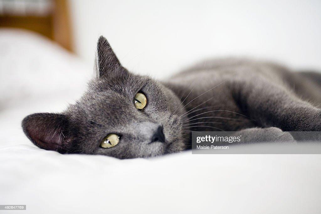 Close-up of gray cat, Colorado, USA : Stock Photo