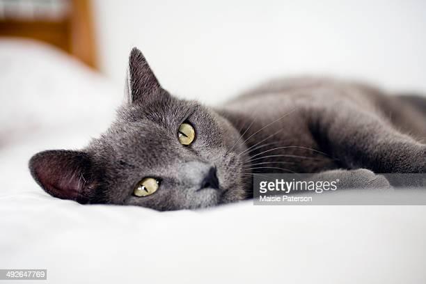 Close-up of gray cat, Colorado, USA