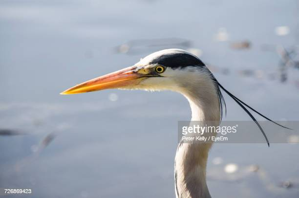 Close-Up Of Gray Heron Against Water