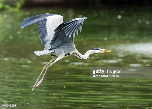 Close-Up Of Gray Heron Flying Over Lake