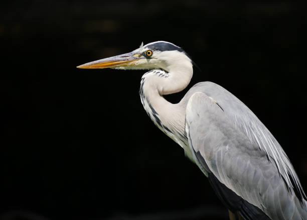 Close-up of gray heron,Meudon,France
