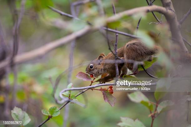 close-up of gray tree squirrel eating fruit on tree,kanada,canada - kanada stock pictures, royalty-free photos & images