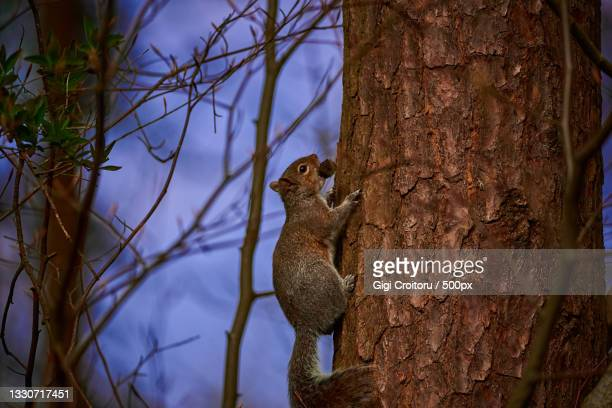 close-up of gray tree squirrel on tree trunk,northampton,united kingdom,uk - northampton stock pictures, royalty-free photos & images