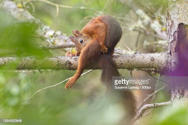 close-up of gray tree squirrel on tree,germany - susanne ludwig stock pictures, royalty-free photos & images