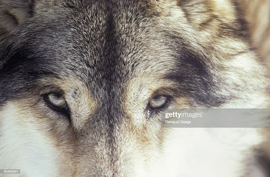 Close-up of gray wolf eyes : Stock Photo