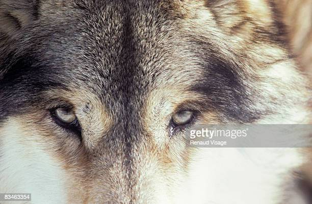 Close-up of gray wolf eyes