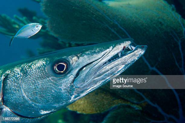 closeup of great barracuda - barracuda stock pictures, royalty-free photos & images