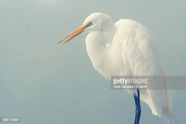 Close-Up Of Great Egret Against Sky
