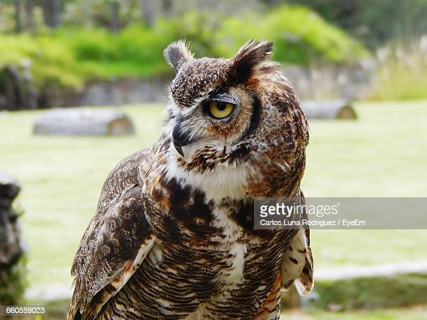 close-up of great horned owl at africam safari - great horned owl stock pictures, royalty-free photos & images