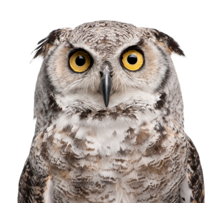 Close-up of Great Horned Owl, Bubo Virginianus Subarcticus. 119373523