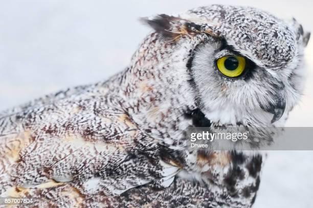 close-up of great horned owl - ランブイエ ストックフォトと画像