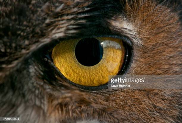 close-up of great horned owl's (bubo virginianus) eye, michigan usa - great horned owl stock pictures, royalty-free photos & images