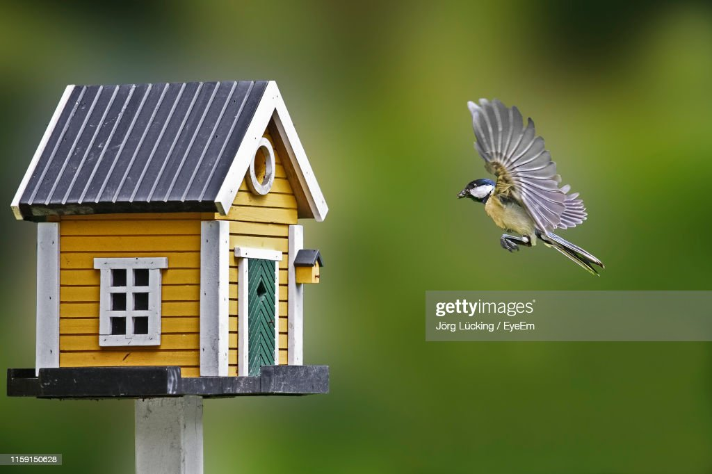 Close-Up Of Great Tit Flying By Birdhouse : Stockfoto