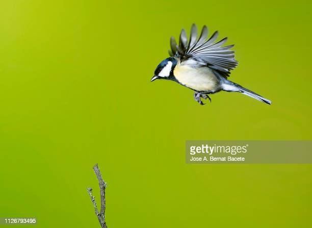 close-up of great tit (parus major)  in flight on a white background. - songbird stock pictures, royalty-free photos & images