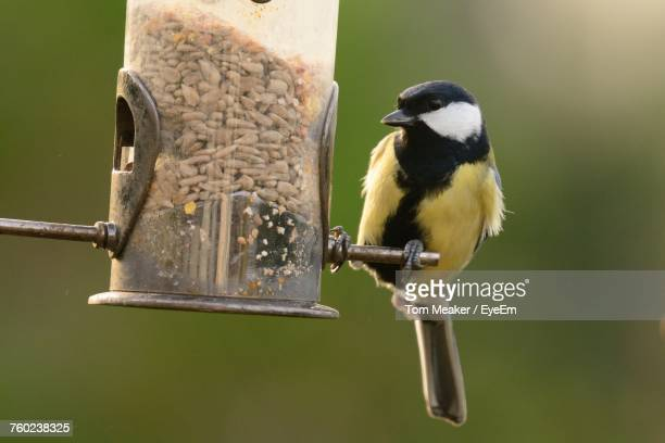 Close-Up Of Great Tit Perching On Bird Feeder
