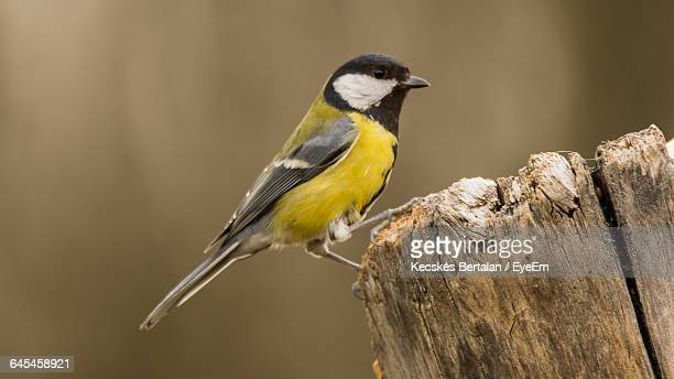 Close-Up Of Great Tit Perching On Wooden Pole