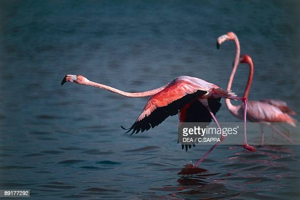 Closeup of Greater Flamingoes wading in water Sian Ka'an Biosphere Reserve Quintana Roo Mexico