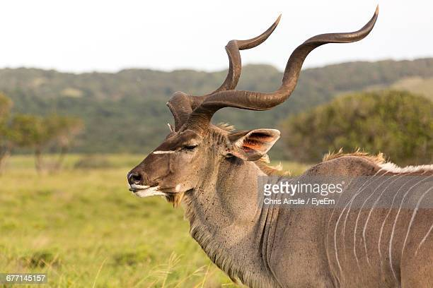 Close-Up Of Greater Kudu On Field