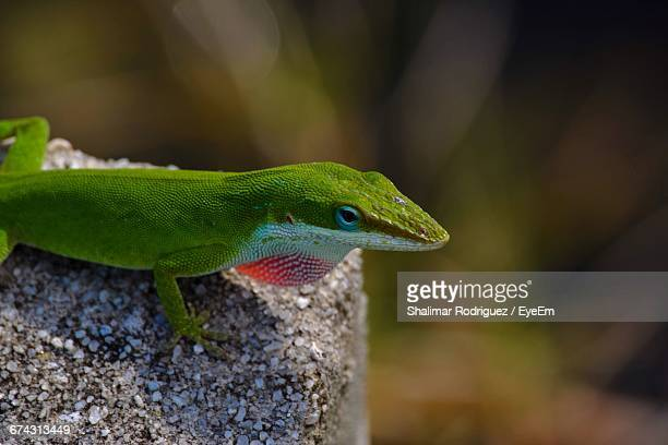 close-up of green anole on rock - anole lizard stock pictures, royalty-free photos & images