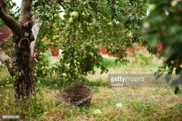 close-up of green apple trees and an old basket - fruit tree stock pictures, royalty-free photos & images