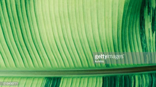 closeup of green banana leaf texture with sunlight. abstract nature background. - bicolore colore foto e immagini stock