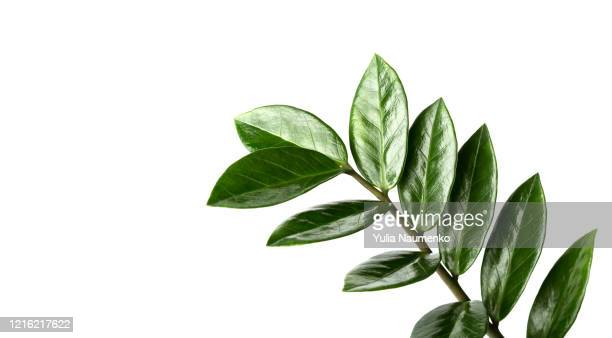 closeup of green branches of houseplant zamiokulkas or dollar tree isolated on white background, banner. - pflanze stock-fotos und bilder