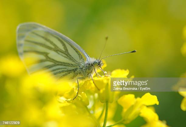 close-up of green butterfly pollinating on yellow flower - brezinska stock pictures, royalty-free photos & images