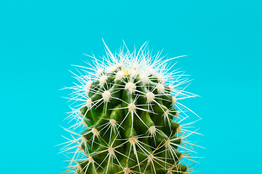 Closeup of green cactus on blue background - gettyimageskorea