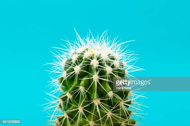 Closeup of green cactus on blue background