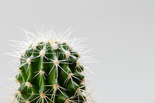 Closeup of  green cactus on gray background - gettyimageskorea