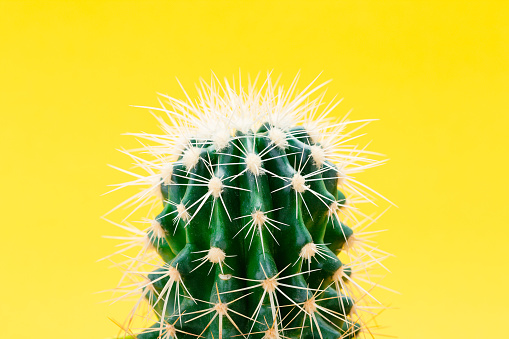 Closeup of green cactus on yellow background - gettyimageskorea