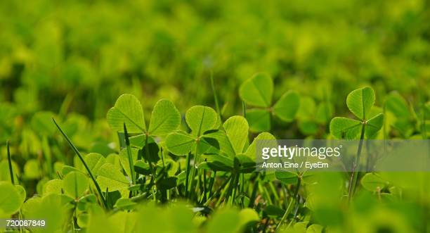 Close-Up Of Green Clovers