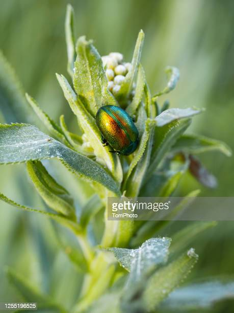 close-up of green colorful beetle on the leaf on meadow plant - tansy stock pictures, royalty-free photos & images
