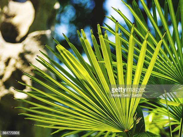 Close-Up Of Green Fan Palm Leaves