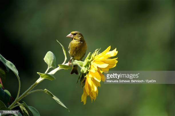 Close-Up Of Green Finch Perching On Sunflower