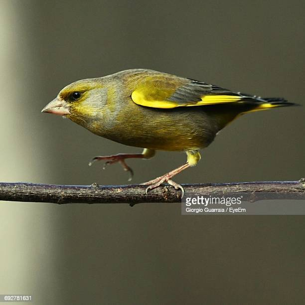 Close-Up Of Green Finch Perching On Twig