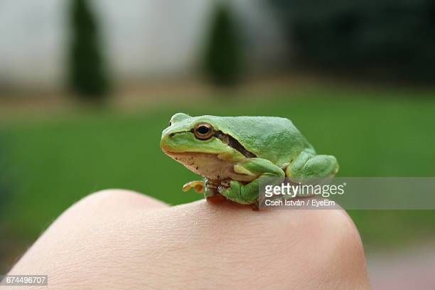 Close-Up Of Green Frog On Woman Hand