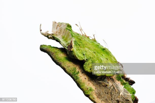Close-Up Of Green Fungus Against White Background