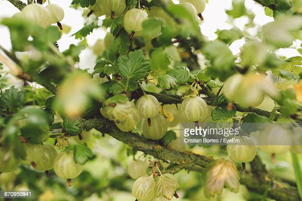 Close-Up Of Green Gooseberries Growing On Branch