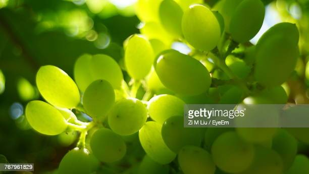 close-up of green grapes growing at farm - white grape stock photos and pictures