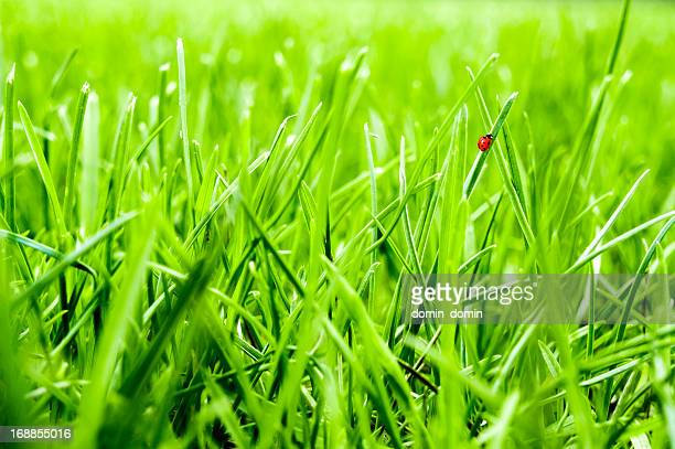Close-up of green grass lawn with little ladybug walking