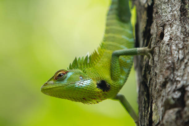 Close-up of green iguana, Borneo, Malaysia